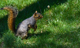 A squirrel sitting on hind legs, paws, preparing to jump. Green grass background Stock Images