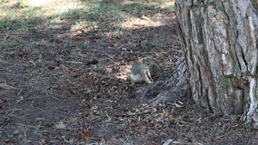 Squirrel Sitting And Lying In Shade Of Tree Trunk stock footage