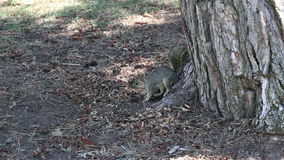 Squirrel Sitting And Lying In Shade Of Tree Trunk stock video footage