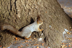 Squirrel sitting nearly tree and of shell of nuts Royalty Free Stock Photography