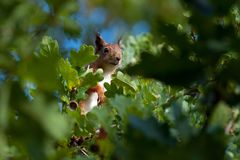 Squirrel sitting among the oak leaves stock image