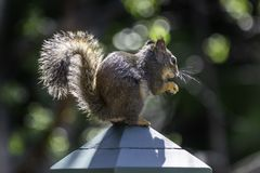 Squirrel On Post stock images
