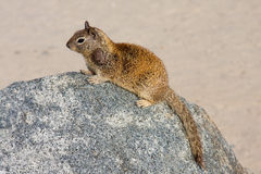 Squirrel Sitting On a Rock At The Beach. Complete with Head & Tail.  Focus on the squirrel Stock Images