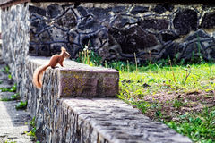 Squirrel sitting on a rock in the park Royalty Free Stock Photo
