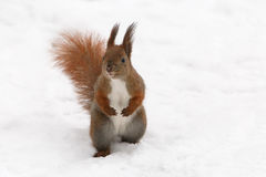 Squirrel sitting on snow Royalty Free Stock Images