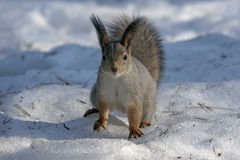 Squirrel sitting on the snow Royalty Free Stock Photos