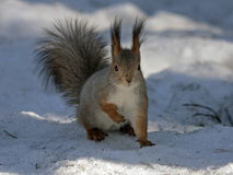Squirrel sitting on the snow Royalty Free Stock Image