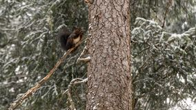 Squirrel sitting on a snowy tree stock photography