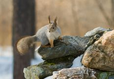 Squirrel sitting on the stone Royalty Free Stock Photo