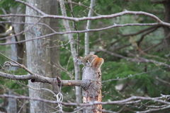 Squirrel sitting on a stump Stock Photography