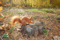 Squirrel sitting on a stump is eating a nut Royalty Free Stock Photography