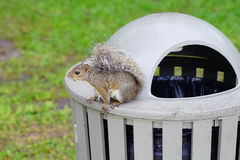 Squirrel is sitting on trash can Stock Image