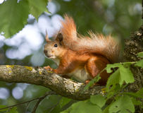 Squirrel sitting on a tree. Stock Images