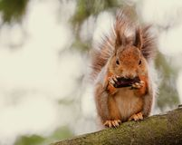 Squirrel sitting on the tree Stock Photography