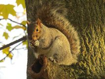 Squirrel sitting on a tree branch and eating a peanut royalty free stock photography