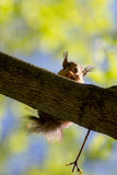 Squirrel sitting on a tree branch Stock Photo