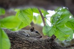 Squirrel sitting in a tree branch royalty free stock photos