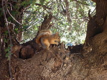 Squirrel sitting on a tree and eating a nut Royalty Free Stock Image