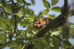 Squirrel sitting in a tree eating a nut Royalty Free Stock Images