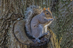 Squirrel. A squirrel sitting on a tree enjoying a peanut Stock Photos