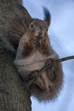 Squirrel sitting on the tree Royalty Free Stock Photos