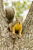 Squirrel sitting in tree fork Stock Image