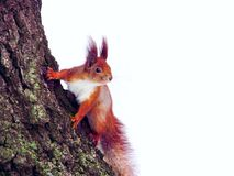 Squirrel sitting on the tree, front view stock photos