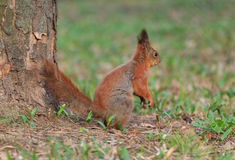 Squirrel sitting at tree Royalty Free Stock Images