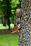 Squirrel sitting on a tree Royalty Free Stock Photo