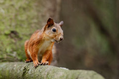 Squirrel sitting on a tree Stock Images