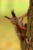Squirrel sitting on a tree Stock Photography