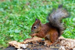 Squirrel sitting on a tree stump in the Catherine Park. In Pushkin near St. Petersburg, Russia Royalty Free Stock Image