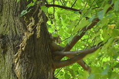 Squirrel sitting on a tree. In summer at regents park, london royalty free stock photography