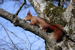 Squirrel sitting in tree Royalty Free Stock Image