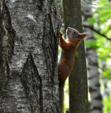 Squirrel. Sitting on a tree trunk in the forest Stock Photos