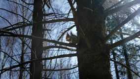 Squirrel sitting on a tree in the woods. A beautiful squirrel sits on a tree in the woods and eats nuts in the afternoon in sunny spring weather Royalty Free Stock Photo