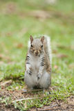 Squirrel sitting Stock Images