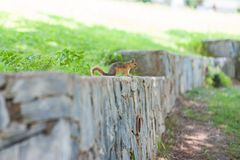 Squirrel sitting on the wall looking into the distance stock images