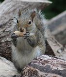 Squirrel. Sitting on the wood pile eating his peanut Stock Image