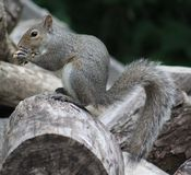 Squirrel. Sitting on the wood pile eating his peanut Stock Photo