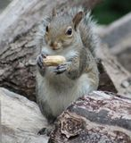 Squirrel. Sitting on the wood pile eating his peanut Stock Photography