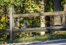 Squirrel sitting on the wooden fence.  Royalty Free Stock Image