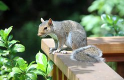 Squirrel. Sitting on a wooden ledge Stock Images