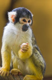 Squirrel- or Skull monkey Stock Images
