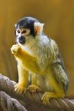 Squirrel- or Skull monkey Royalty Free Stock Photos