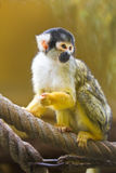 Squirrel- or Skull monkey. Sitting on rope Stock Photos