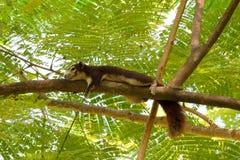 Squirrel sleep Stock Image