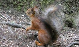 Squirrel sleeping standing. Funny, funnysquirrel, asleep, goodnight, squirrels, squirrellife, nature, otava, orava, kurre, nukkuu, unissakvelij, sleepwalker stock images