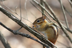 Squirrel. Small squirrel on the branch of a tree Stock Photo