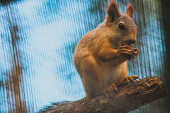 Squirrel. Small cute squirell with nut Royalty Free Stock Photo